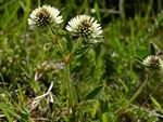 Mountain Clover (Trifolium montanum)